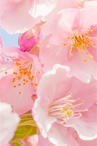 iPhone Wallpaper Pink cherry flowers bloom, spring, petals