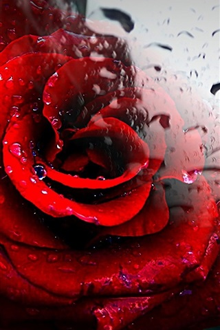 iPhone Wallpaper Red rose, glass, water drops
