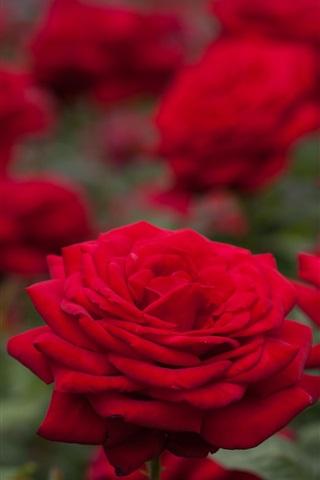 iPhone Wallpaper Red roses, bokeh