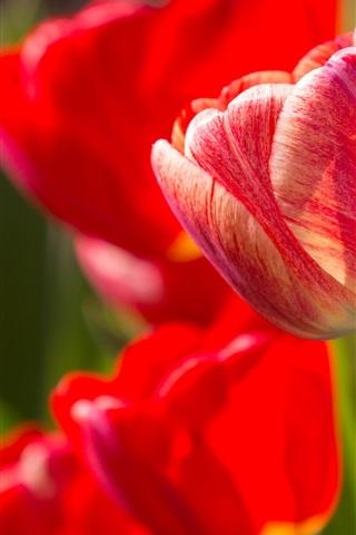 iPhone Wallpaper Red tulips, sunshine