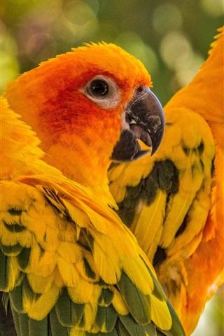 iPhone Wallpaper Three birds, parrot