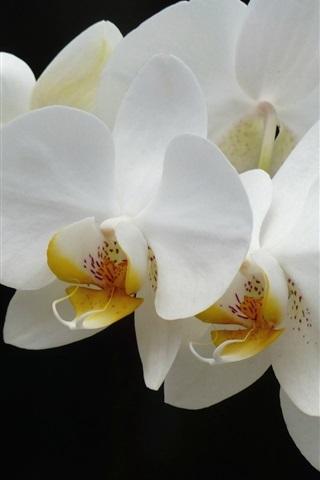 iPhone Wallpaper White phalaenopsis