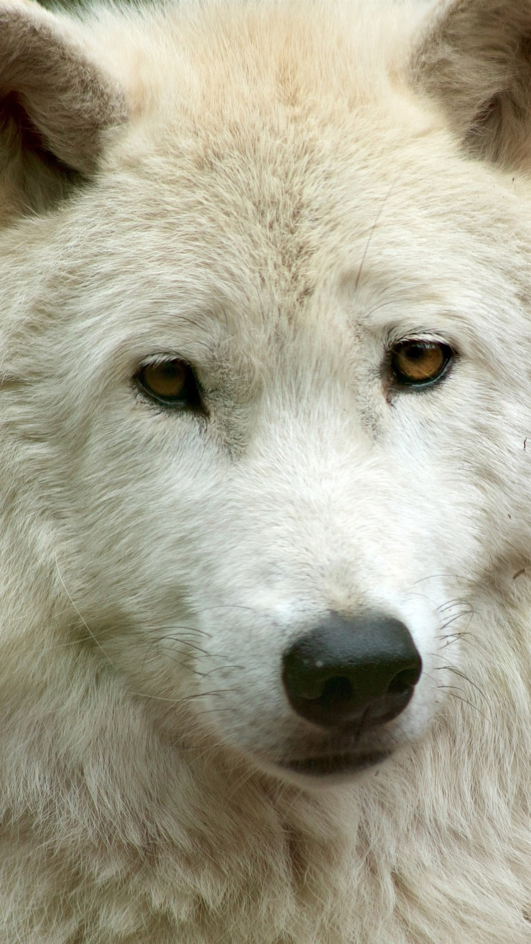 Wallpaper White wolf front view, face 3840x2160 UHD 4K ...