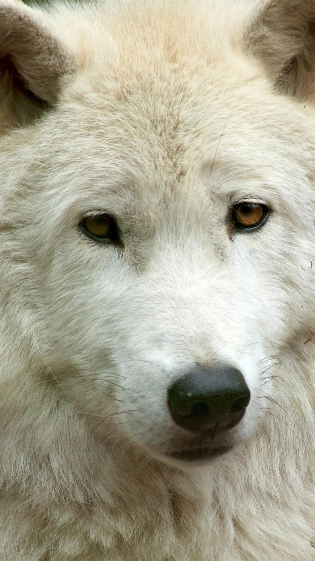 白い狼の正面 顔 1080x1920 Iphone 8 7 6 6s Plus 壁紙 背景 画像