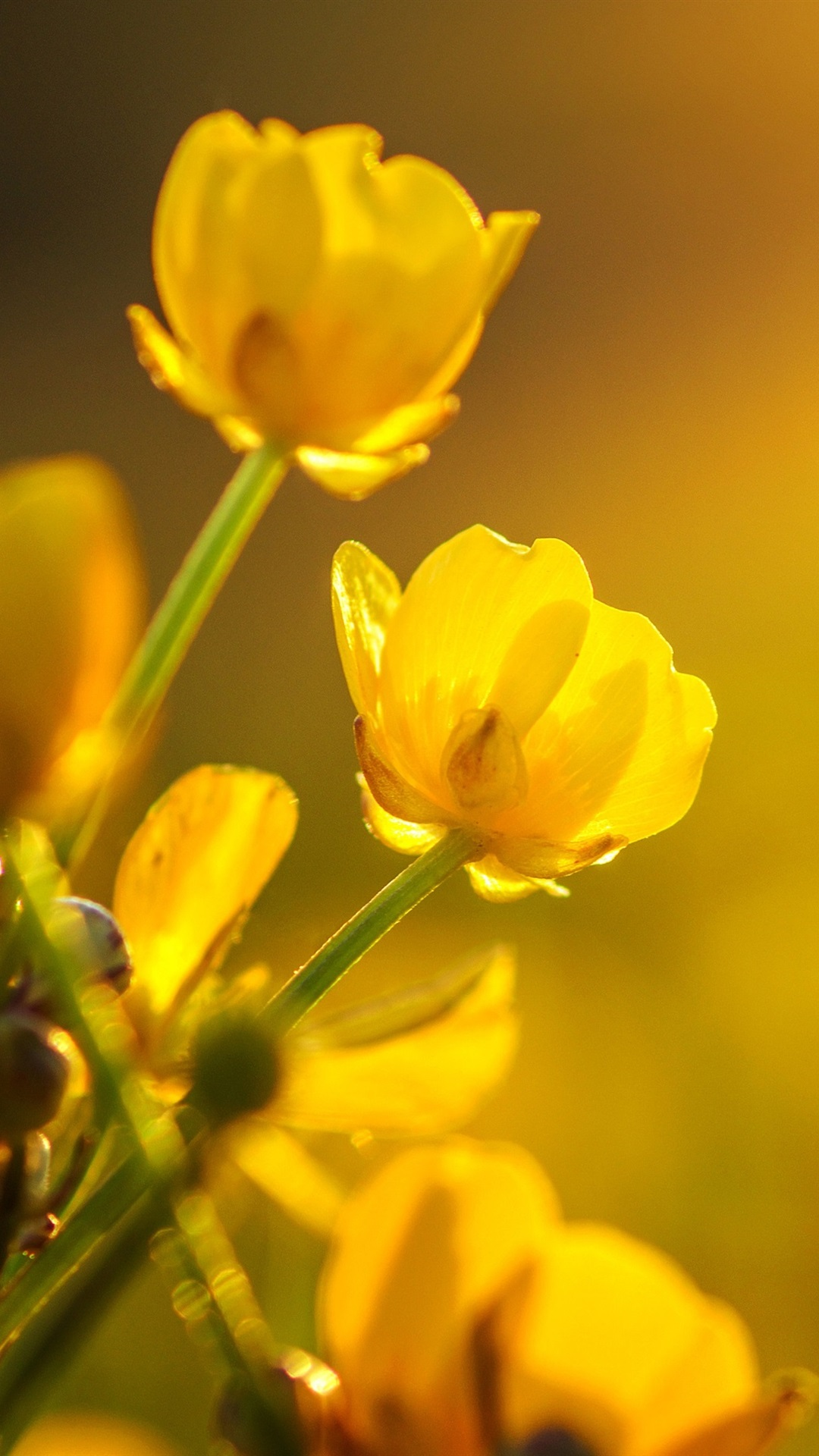 Yellow Buttercups Flowers 1080x1920 Iphone 8766s Plus Wallpaper