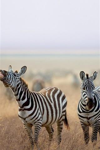 iPhone Wallpaper Zebra, animals, grass