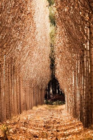 iPhone Wallpaper Birch forest, autumn, path
