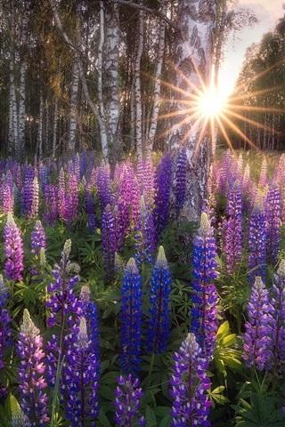iPhone Papéis de Parede Birch Grove, flores de tremoço, raios solares