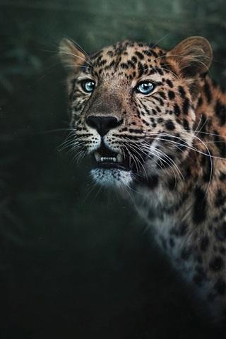 iPhone Wallpaper Blue eyes leopard, predator, teeth