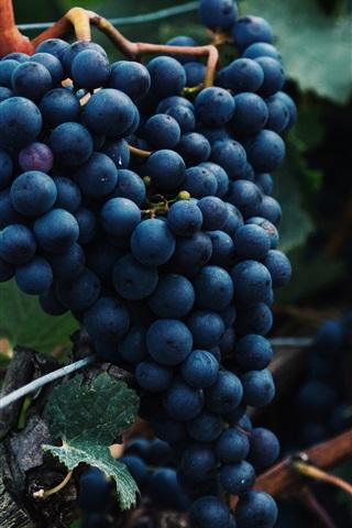 iPhone Wallpaper Blue grapes, leaves, ripe fruit