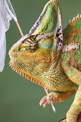 iPhone Wallpaper Chameleon hunting butterfly, funny animals