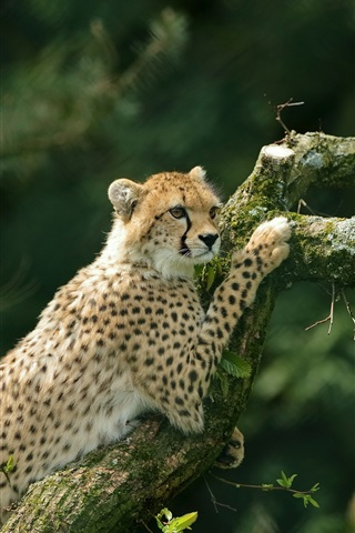 iPhone Wallpaper Cheetah climbing tree, moss