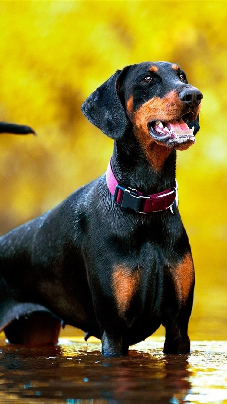 Doberman dog stand in water 750x1334