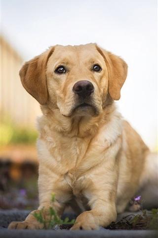 iPhone Wallpaper Labrador Retriever, dog, rest
