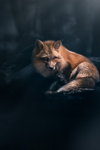 iPhone Wallpaper Red fox look, forest, light