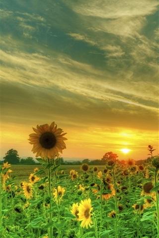iPhone Wallpaper Sunflowers, fields, clouds, sunset
