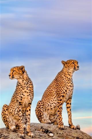 iPhone Wallpaper Two cheetahs, blue sky
