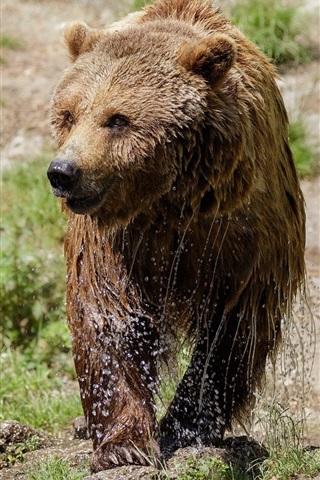 iPhone Wallpaper Wet brown bear, walk, grass