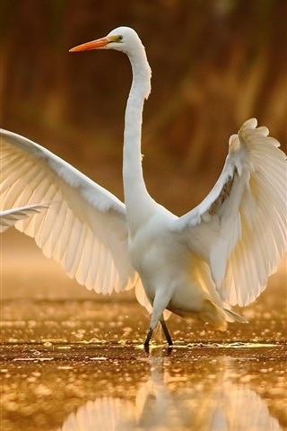 iPhone Wallpaper White egret dance in water