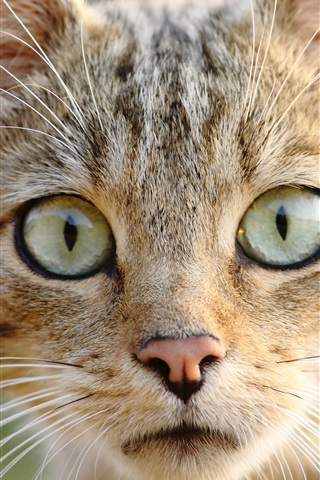 iPhone Wallpaper Wild cat front view, eyes, face