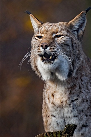 iPhone Wallpaper Wild cat, lynx, front view