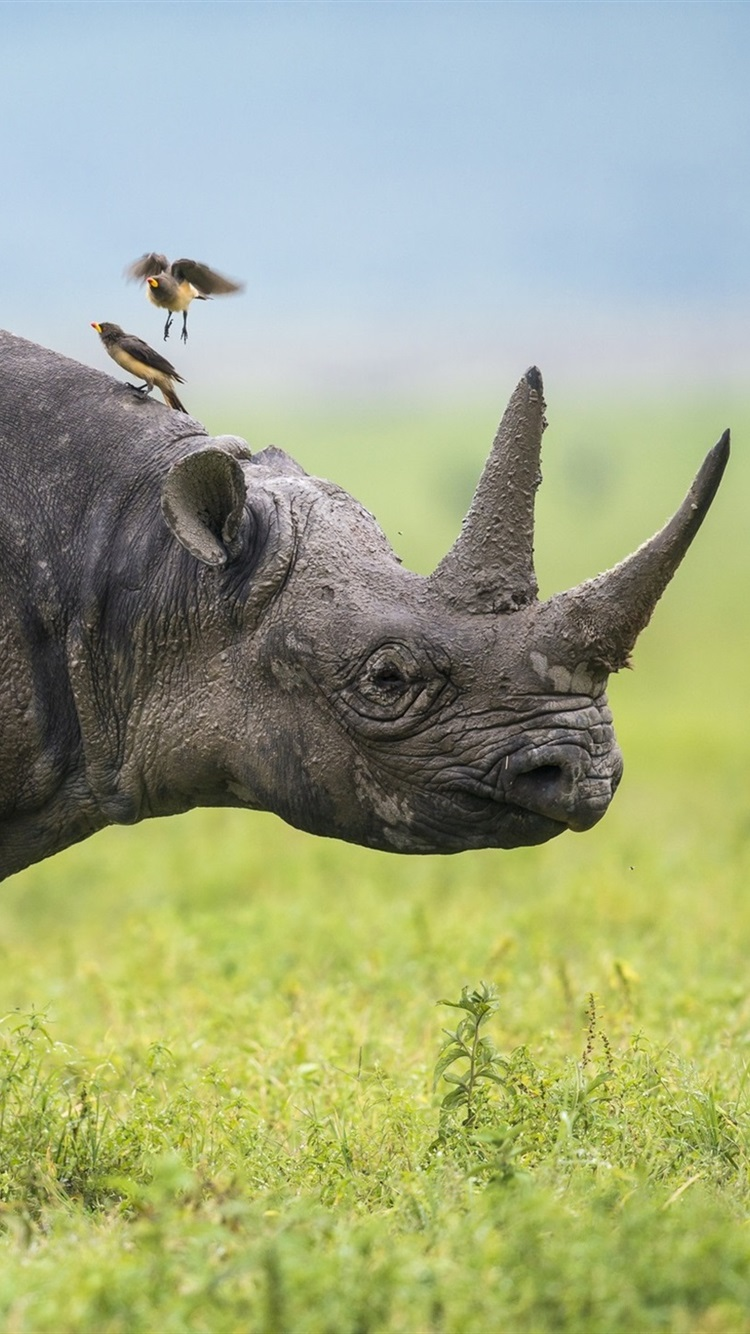 Africa Rhino Birds Grass 750x1334 Iphone 8 7 6 6s Wallpaper