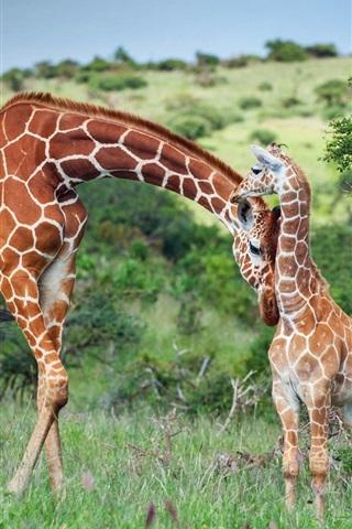 iPhone Wallpaper Africa, giraffe, family, Kenya