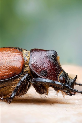 iPhone Wallpaper Beetle, insect macro photography
