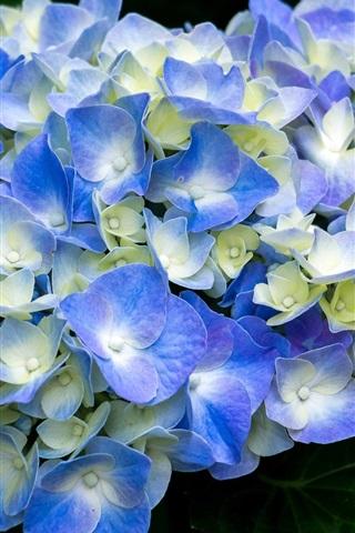 iPhone Wallpaper Blue hydrangea flowering, spring
