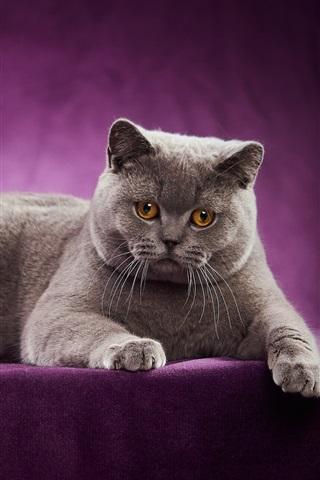iPhone Wallpaper British Shorthair, cat, purple background