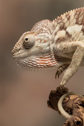 iPhone Wallpaper Chameleon, animals close-up