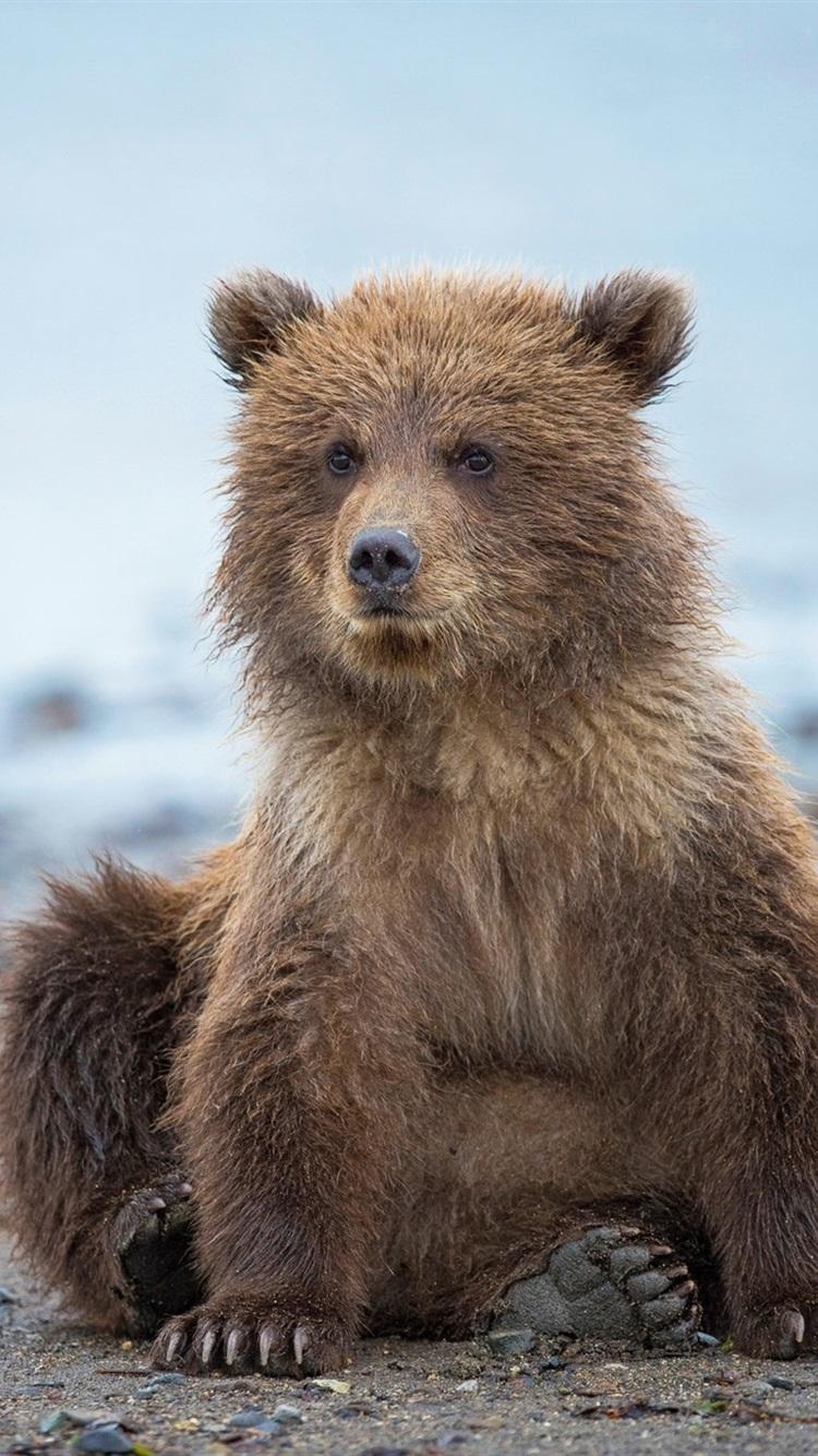 かわいいクマの子 アラスカ 750x1334 Iphone 8 7 6 6s 壁紙 背景 画像