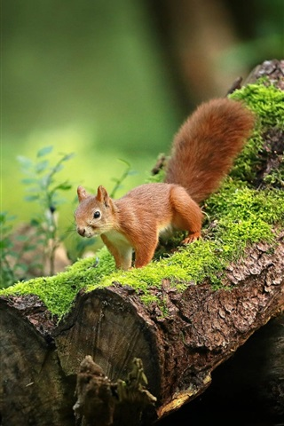 iPhone Wallpaper Cute squirrel, moss, forest