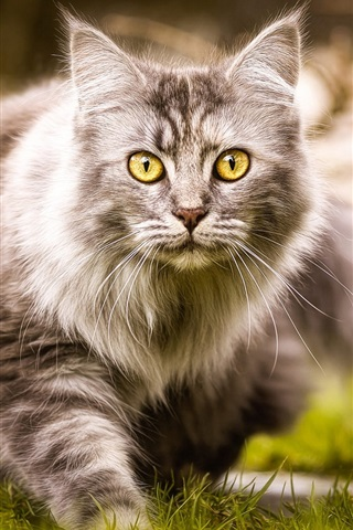 iPhone Wallpaper Furry cat walk on the grass, yellow eyes