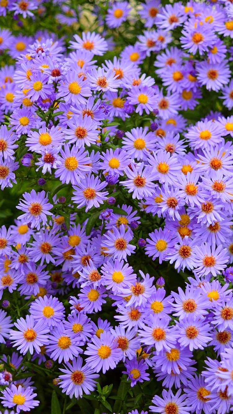 wallpaper many purple flowers, daisy 2880x1800 hd picture, image