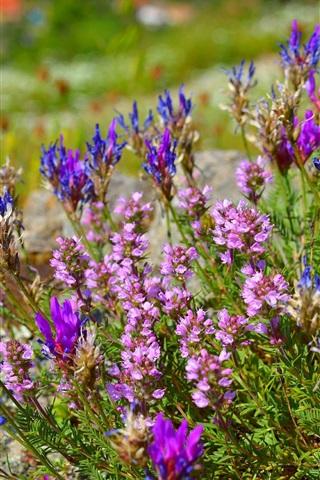 iPhone Wallpaper Oxytropis flowering, flowers, spring