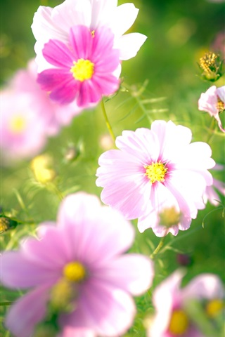 iPhone Wallpaper Pink flowers, petals, blurry
