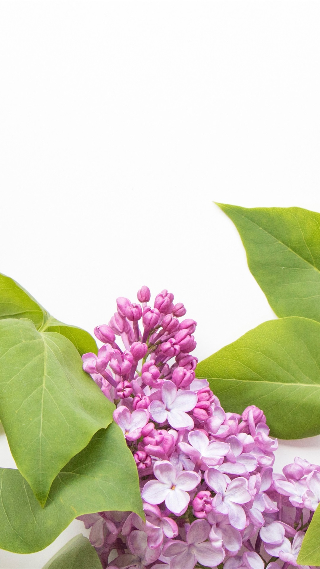 Pink Lilac Flowers White Background 1080x1920 Iphone 876