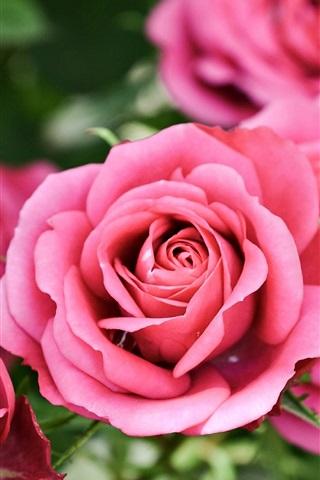 iPhone Wallpaper Pink roses, bokeh, flowers
