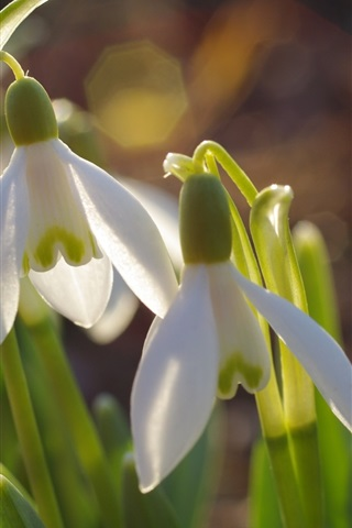 iPhone Wallpaper Snowdrop, flowers in spring