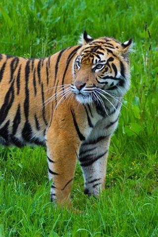 iPhone Wallpaper Tiger look back, green grass