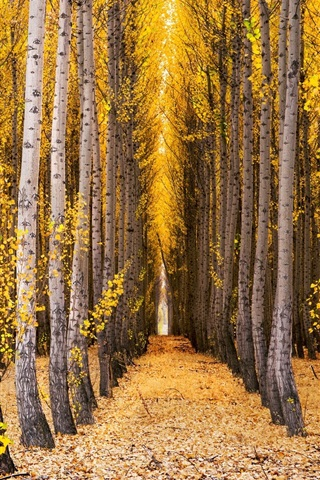 iPhone Wallpaper Trees, birch, forest, yellow leaves, autumn