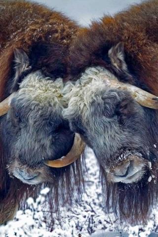iPhone Wallpaper USA, Alaska, musk ox, horns, snow