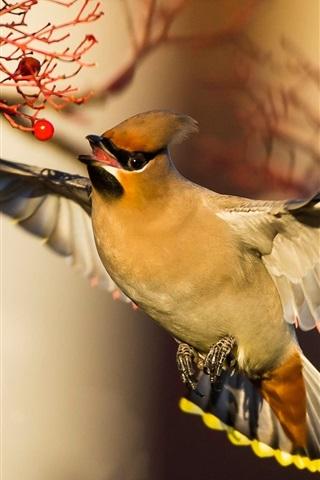 iPhone Papéis de Parede Waxwing, vôo de pássaros, asas, bagas vermelhas