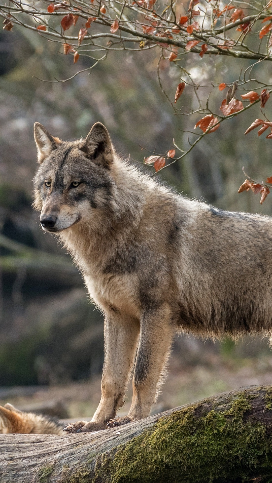 狼の表情 森 1080x1920 Iphone 8 7 6 6s Plus 壁紙 背景 画像
