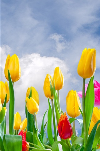iPhone Wallpaper Yellow and pink tulips, flowers field, sky, clouds