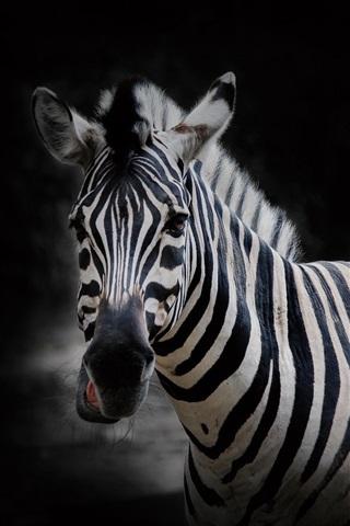 iPhone Wallpaper Zebra, black background