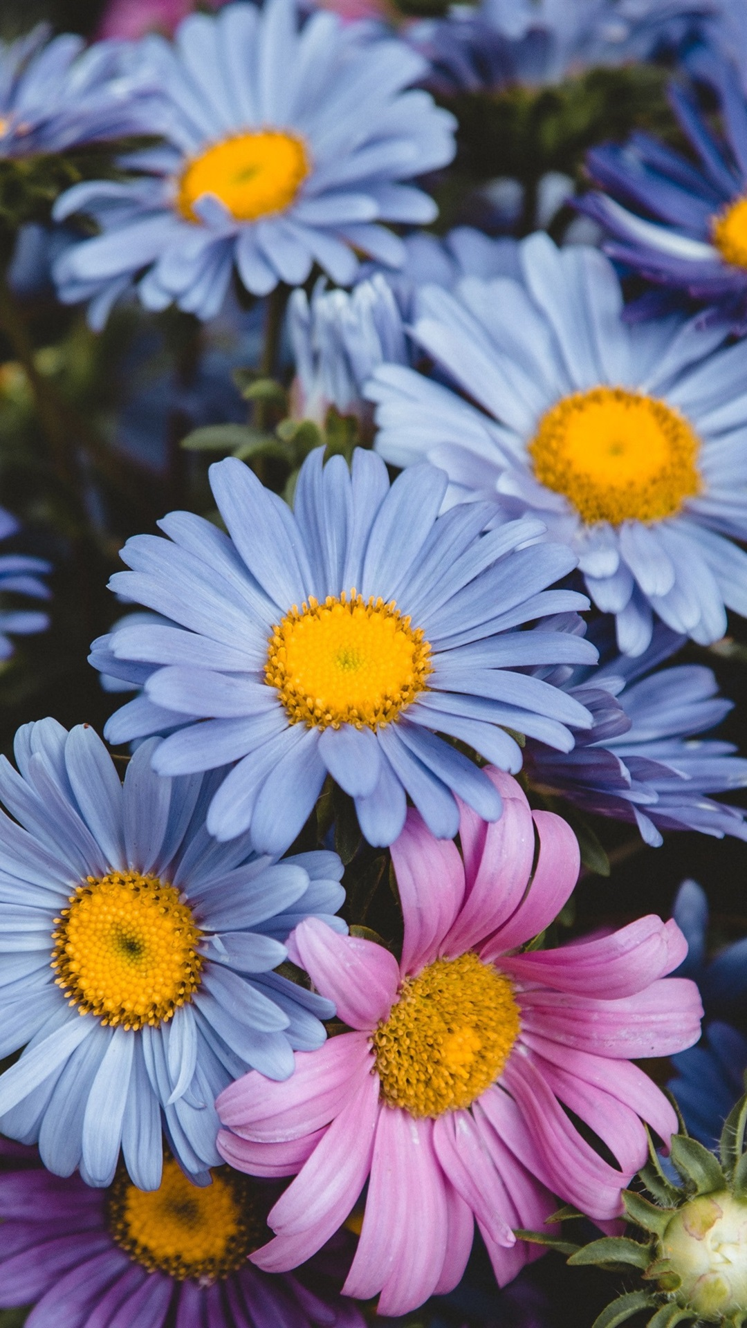 wallpaper blue and pink flowers daisy 3840x2160 uhd 4k