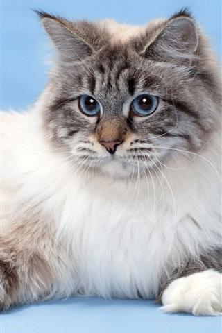 iPhone Wallpaper Blue eyes cat, furry pet