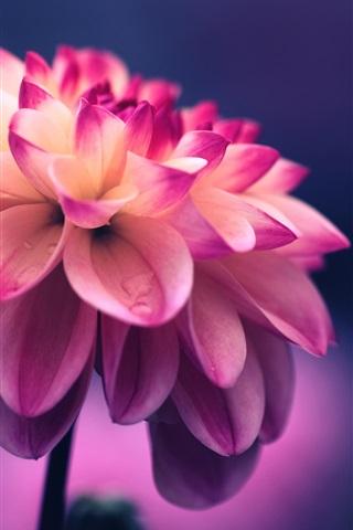 iPhone Wallpaper Dahlia, pink petals, water drops, bokeh